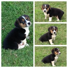 Corgi/Beagle mix puppy :) Beagle Mix Puppies, Beagle Dog, Really Cute Puppies, Cute Dogs, Adorable Puppies, Animals And Pets, Cute Animals, Beautiful Dogs, Animal Pictures