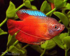 Red Fire Dwarf Gourami, Featured item. #red #fire #dwarf #gourami #fish #petfish #aquarium #aquariums #freshwater #freshwaterfish #featureditem