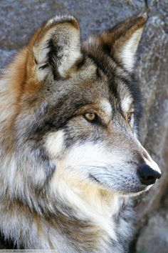 I've become obsessed with wolves!