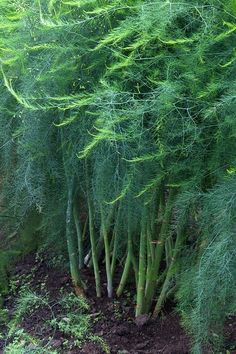 How to Grow Asparagus - wow, this is beautiful!