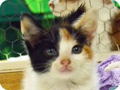 Searcy, AR - Calico. Meet Bean, a kitten for adoption. http://www.adoptapet.com/pet/11572829-searcy-arkansas-kitten