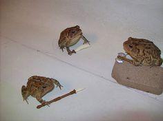 frog cursed cursedimages frogmeme meme memes funny comedy battle turnip toad fellas help what yoshi cool nintendo mariokart woop Frog Pictures, Funny Pictures, Funny Animals, Cute Animals, Cute Frogs, Frog And Toad, Frog Frog, Oui Oui, Cursed Images