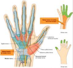 Wrist branch median nerve