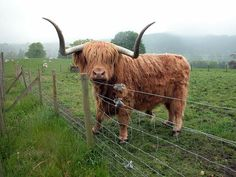 Hamish the Scottish Highland cow. I fed him a carrot once.