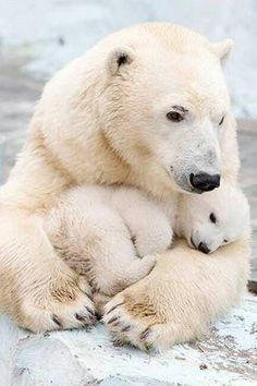 Polar bears Polar bearsYou can find Beautiful creatures and more on our website. Nature Animals, Animals And Pets, Beautiful Creatures, Animals Beautiful, Cute Baby Animals, Funny Animals, Animals Kissing, Baby Polar Bears, Tier Fotos
