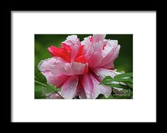 pink, white, peony, perennial, nature, bloom, blossom, michiale, schneider, photography