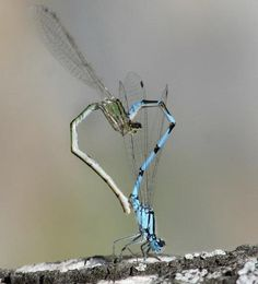 dragon flies - when they have sex they make a heart awwww