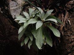 Paraboea paniculata on an exposed limestone cliff, Banjaran, Perak, Malaysia