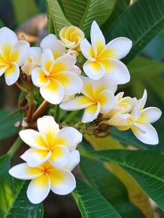 "Yellow centered plumeria (Frangipani): this variety is called ""Sensational,"" - amazing fragrance, and a prolific bloomer! Exotic Flowers, Tropical Flowers, Tropical Plants, Amazing Flowers, Beautiful Flowers, Flores Plumeria, Plumeria Flowers, Hawaiian Flowers, Frangipani Tattoo"