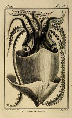 nemfrog: Plate XIII. Squid of Brazil. Histoire naturelle.1802.