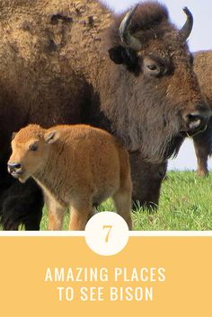 Check out 7 places and travel destinations where you can see bison, America's newly named national mammal.