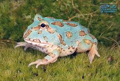 """Argentine Horned Frog """"Blue"""" ~ Ceratophrys ornata by Repticon, via Flickr"""