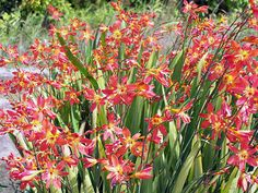 Crocosmia - 'Brilliant Sunset' tall, wide (space apart) Blooms End Summer-Fall Autumn Summer, Spring, Lily Garden, Crocosmia, Asiatic Lilies, Home Landscaping, Unique Gardens, Shrubs, Flower Power