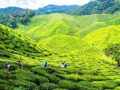 Tourists visit a tea plantation. Cameron Highlands, Malaysia, Asia