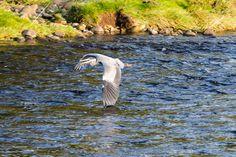 Heron in flight by Marc Lucas on 500px