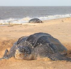 How lovely are leatherback turtles?
