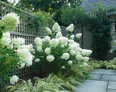 """Limelight"" hydrangea, near foolproof, turns deep pink in fall, proven winner, seen here with Japanese fountain grass, grows in part sun to full sun"
