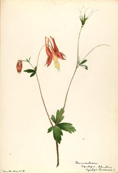 206049 Aquilegia canadensis L. / Sharp, Helen, Water-color sketches of American plants, especially New England, [Helen Sharp] Flower Tattoo Back, Flower Tattoo Shoulder, Botanical Drawings, Botanical Prints, Flora Pattern, Columbine Flower, Historia Natural, Plant Illustration, Watercolor Sketch