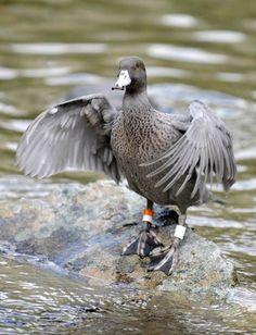 Blue Duck Aquatic Birds, Swans, Magpie, Ducks, Blue, Animals, Animales, Animaux, Animal