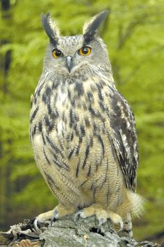 The Eurasian Eagle Owl (Bubo bubo) is a large and powerful bird. The great size, ear tufts and orange eyes make this a distinctive species.