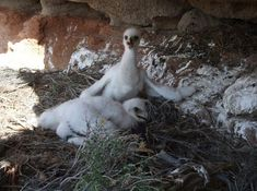 Cute Photos of Baby Golden Eagles < Birdorable Blog Cute Photos, Baby Photos, Eagle Nest, Golden Eagle, Heartstrings, Eagles, Baby Animals, Blog, Baby Pictures
