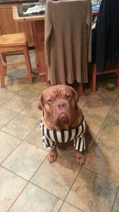 Gracie , 2015 #unnecessaryruffness Best Dog Breeds, Best Dogs, Bordeaux Dog, Maggie Mae, Sadie, Labrador Retriever, Pitbulls, Puppies, French
