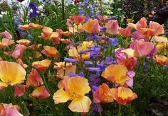 there are many CA poppy varieties out there.  This one is gorgeous.  Cal Poppy 'Apricot Chiffon' & Penstemon heterophyllus