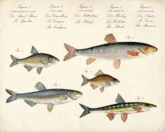 Natural History Collection Guide-Fish Print by vintagebytheshore