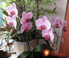 Orchidea mi hynula doslova pred očami: Stačila táto finta mojej svokry a za chvíľu mi nádherne rozkvitla! House Plants, Orchids, Cactus, Flowers, Gardening, Dreams, Archangel, Growing Up, Plants