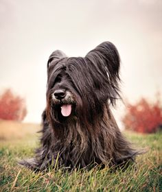 The Skye Terrier - hailing from the Scottish Isle of Skye Skye Terrier, Terriers, Terrier Breeds, Dog Breeds, Beautiful Gorgeous, Beautiful Dogs, Scottish Terrier, Mans Best Friend, Dog Pictures