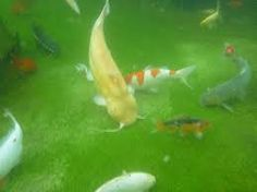 if i ever make a koi pond i m putting an albino channel catfish in