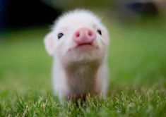 piggie ~ if only they stayed this little, clean & cute!