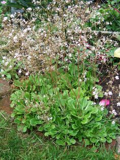Saxifraga x urbium London pride saxifrage Exposure: Deep shade, Part sun/part shade  Spread: mat forming Flower Time at Peak: Jun, Jul