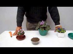 Cuidado de las violetas africanas 2 - YouTube