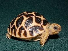 High Yellow Indian Star Tortoises