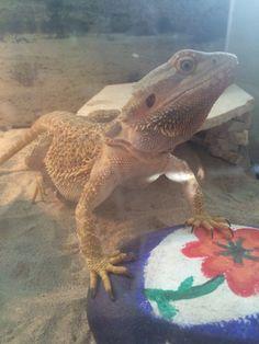 33 Best Schoon lizard time images in 2016 | Bearded dragon