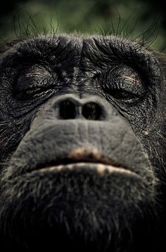 """Chimpanzees are the closest living relatives of humans, sharing approximately 98% of our genetic blueprint."""