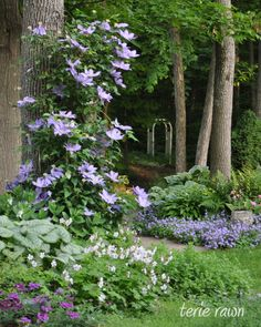 READER PHOTOS! More clematis from Terie's garden in New York - Fine Gardening