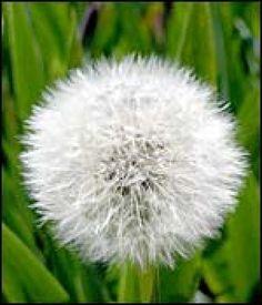 Diente de león, Magia sanadora y creencia popular | Cuidar de tus plantas es facilisimo.com
