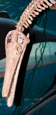 Plesiosaurs (Plesiosauria)