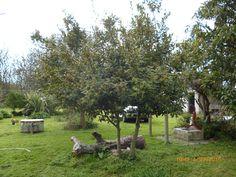 EVBJUAN -Laurus nobilis --LAUREL común en flor --Paraje el Chaja Brandsen Laurus Nobilis, Plants, Planters, Plant, Layering
