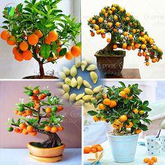 40/saco de sementes orgânicas sementes de bonsai árvore de orange fruit sementes da árvore para plantadores de vaso de flores muito grande e delicioso