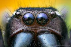 https://flic.kr/p/V1MmBS | Paraphidippus aurantius Male Feeding on Oncometopia orbona