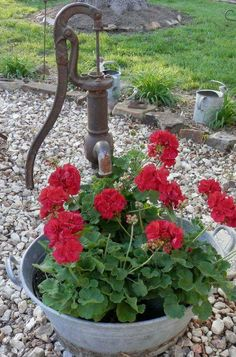 red geraniums in galvanized tub by pump