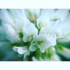 #flowers #insta_pick_blossom #久留米 の #筑後川 #クローバー  です