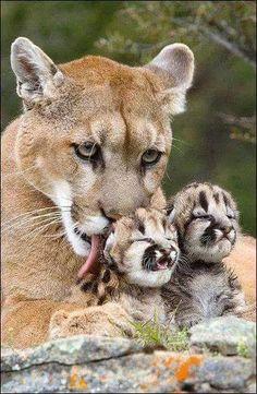 Maman Puma et ses adorables petits <3 ***