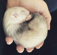 Baby ferret.