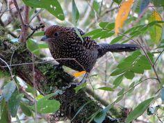 Borralhara-assobiadora (Mackenziaena leachii)