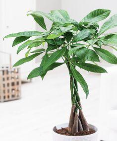 7 lättskötta trädsorter att ha inomhus | ELLE Decoration