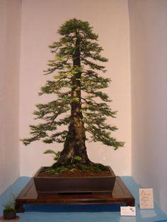 It's a redwood bonsai. Mini Bonsai, Indoor Bonsai, Bonsai Plants, Bonsai Garden, Indoor Plants, Redwood Bonsai, Bonsai Forest, Bonsai Styles, Cactus